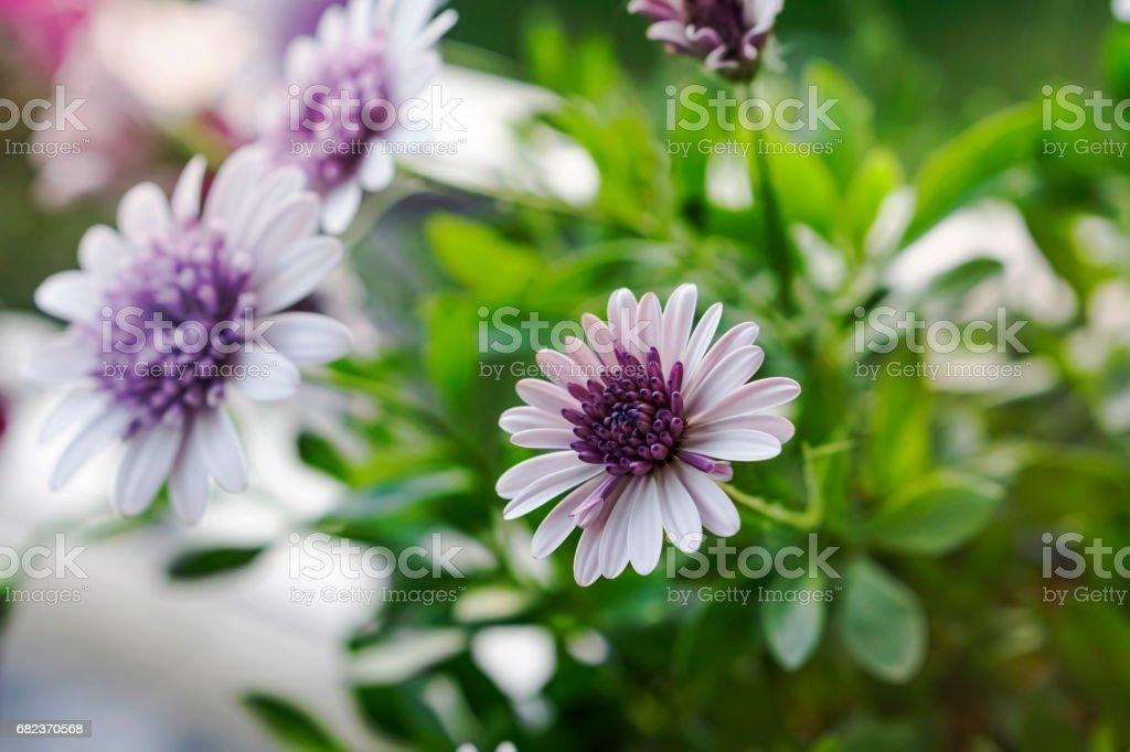 Bloemen van de Osteospermum royalty free stockfoto