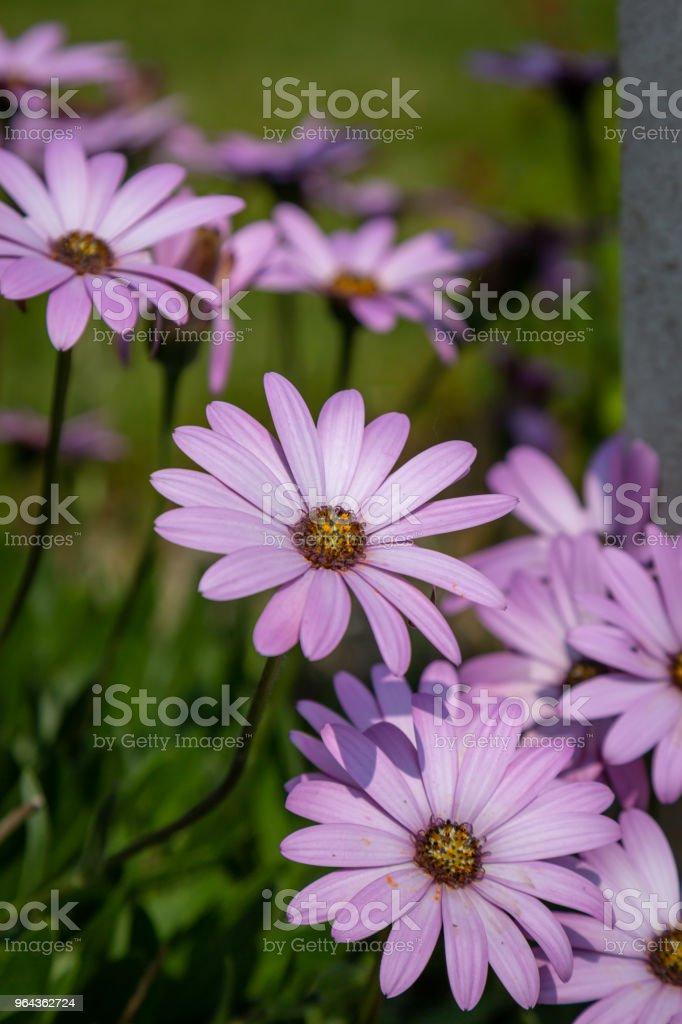 Osteospermum flores - Foto de stock de Beleza royalty-free