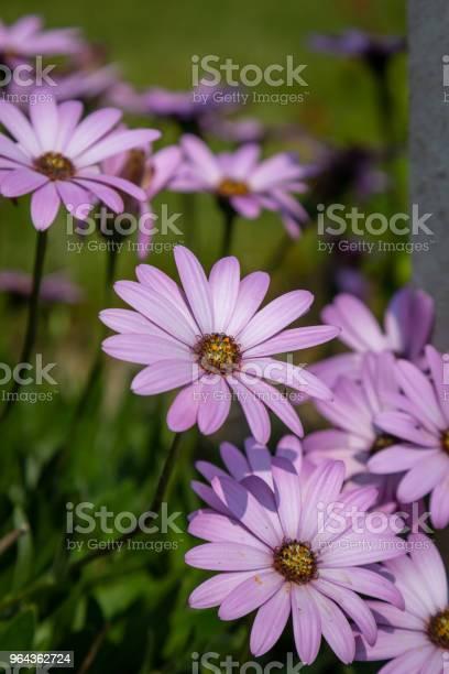 Foto de Osteospermum Flores e mais fotos de stock de Beleza