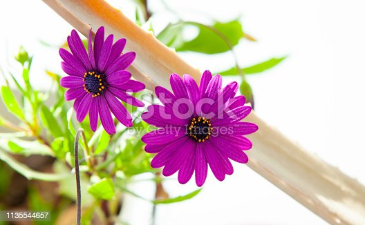 Osteospermum fruticosum purple flowers in sunlight, springtime is here again!!