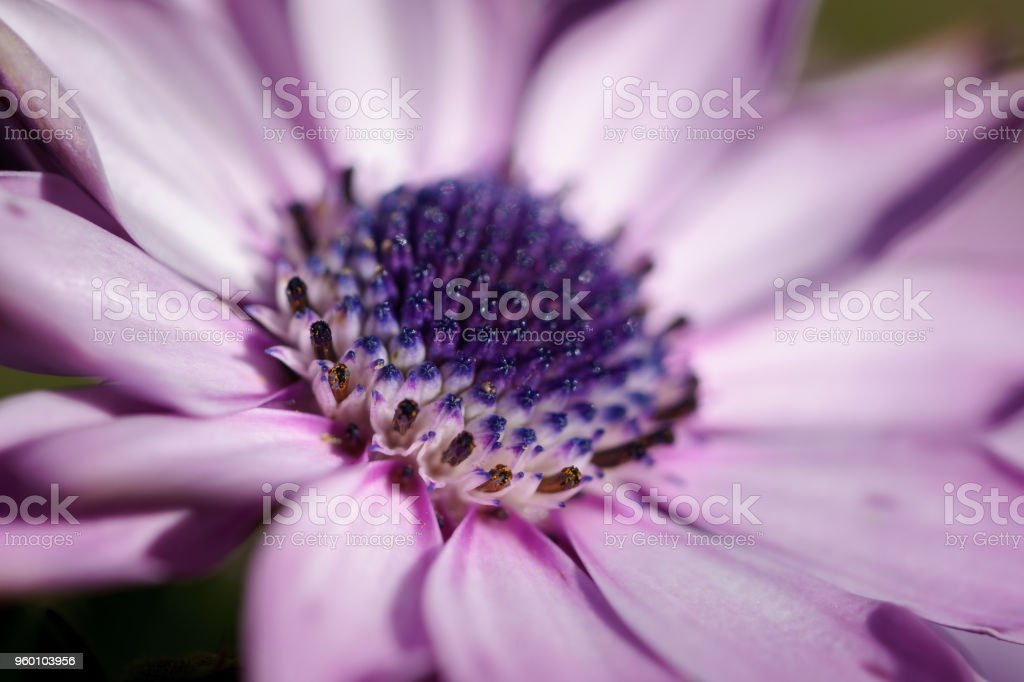 Osteospermum purple flower blue center. stock photo