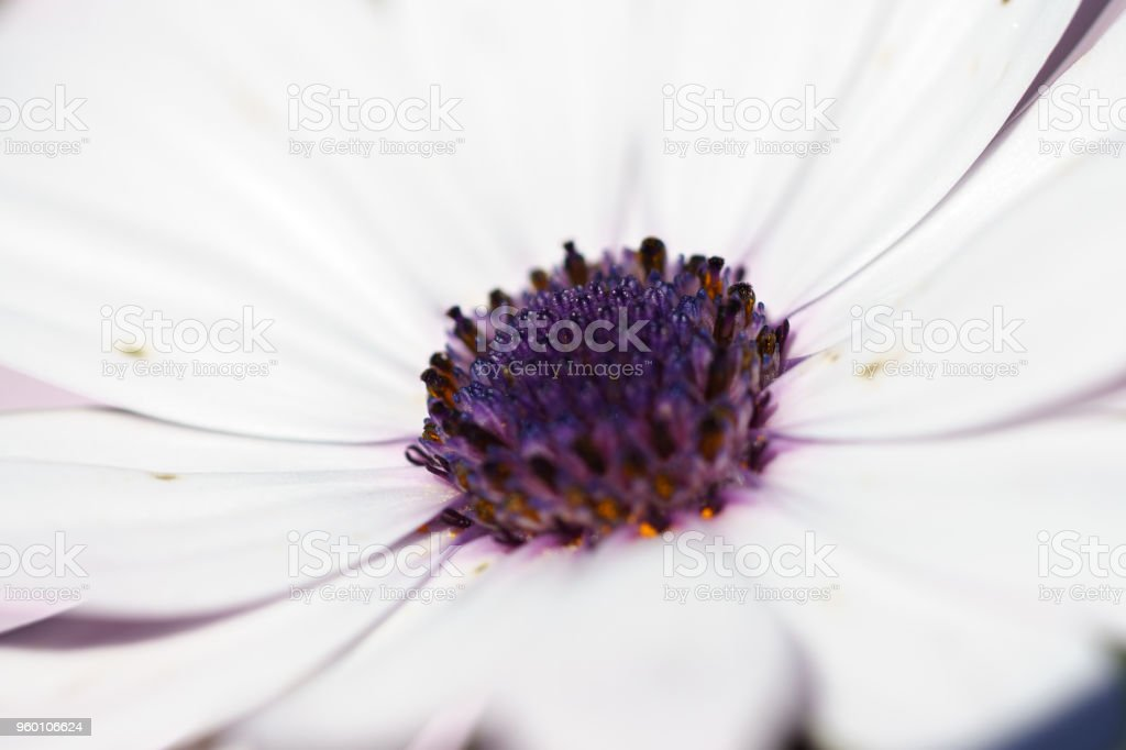 Osteospermum White flower blue center. stock photo
