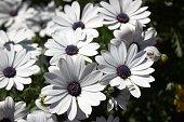 Osteospermum ホワイトにパープルのフラワーボタンアフリカ daisies