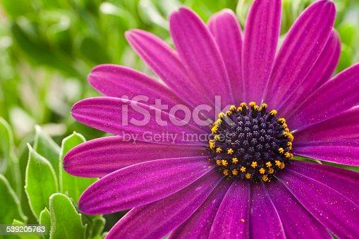 Sunflower daisy Osteospermum eklonia in macro shot, with pollen in a half of the pistils.