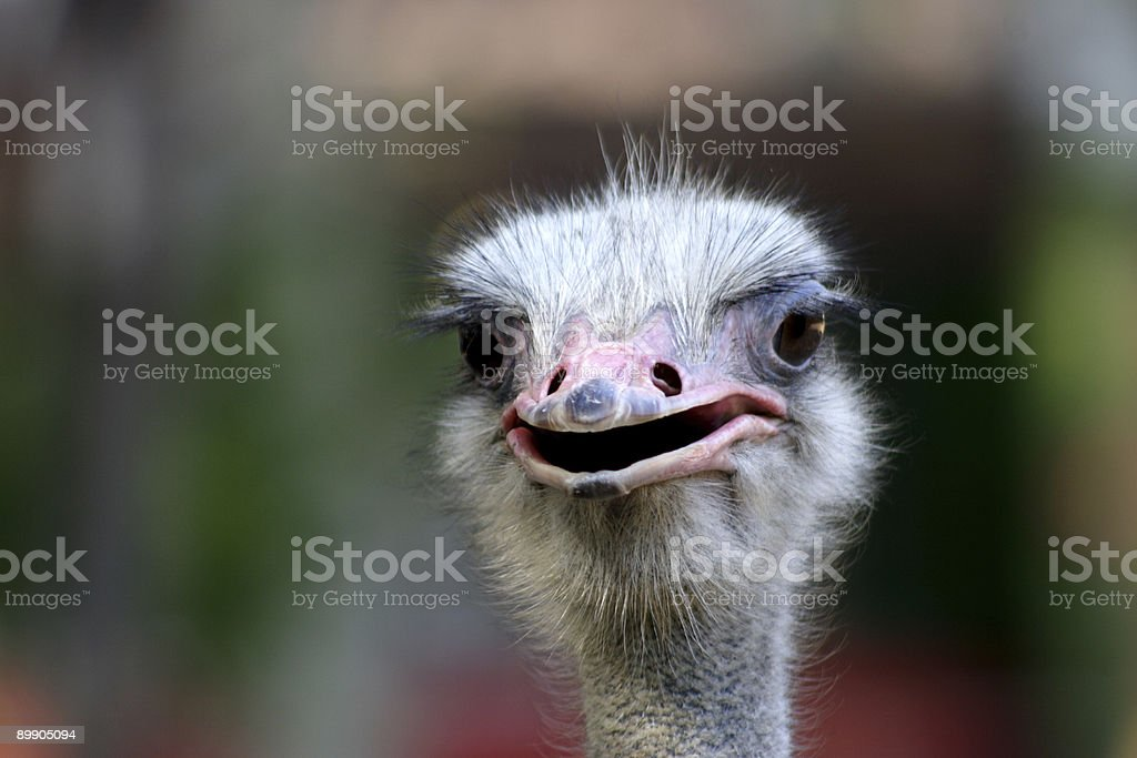 ostrich and beast royalty-free stock photo