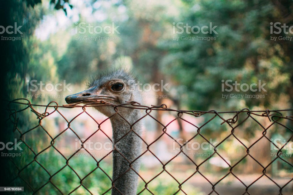 Ostrich animal. stock photo