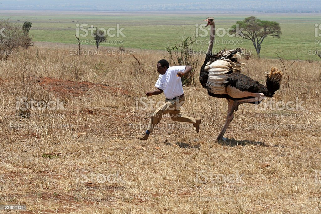 Ostrich attack in Tanzania stock photo