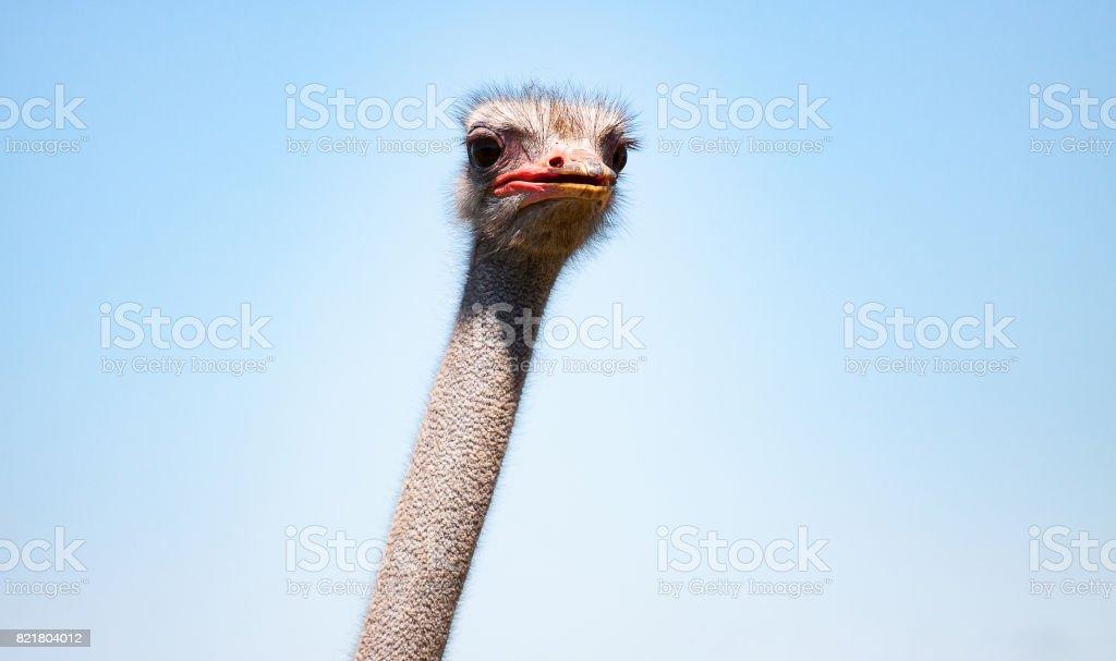 avestruz aves retrato frontal cabeza y cuello en la granja - foto de stock