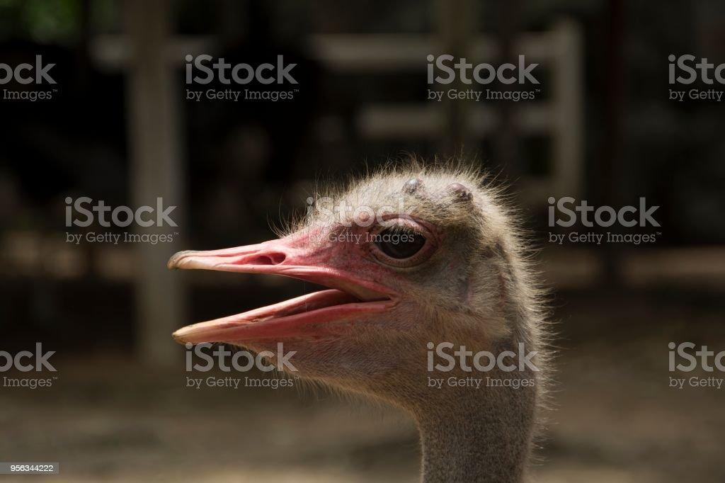 Ostrich Birds stock photo