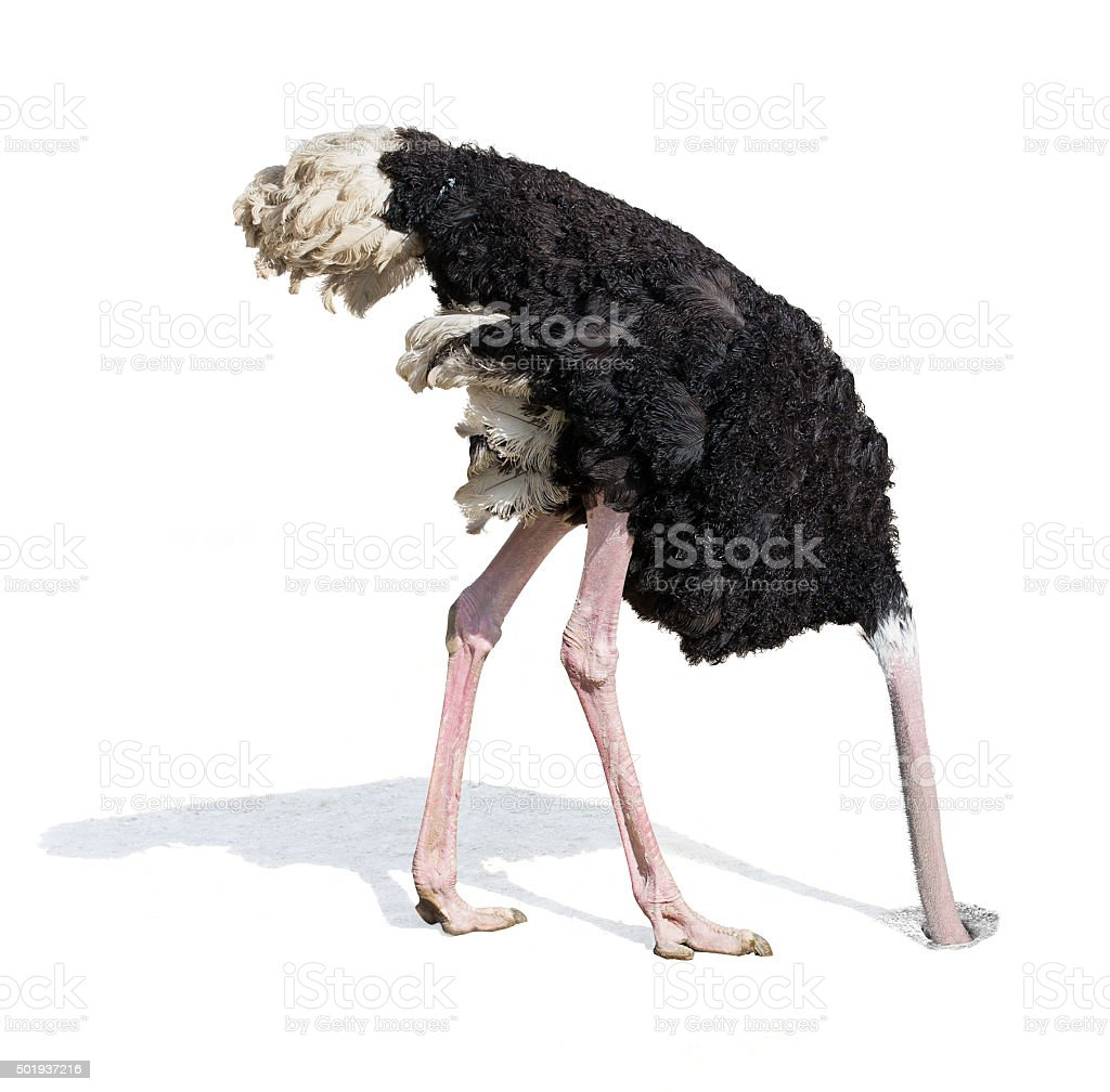 ostrich burying head in sand ignoring problems stock photo