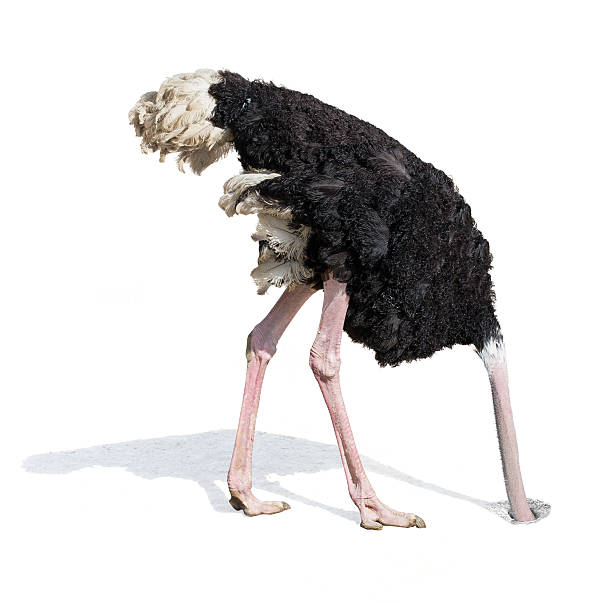 ostrich burying head in sand ignoring problems - struisvogel stockfoto's en -beelden
