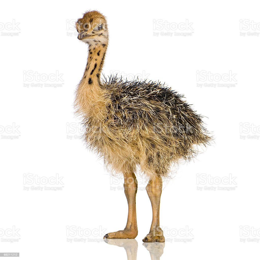 Ostrich Chick stock photo
