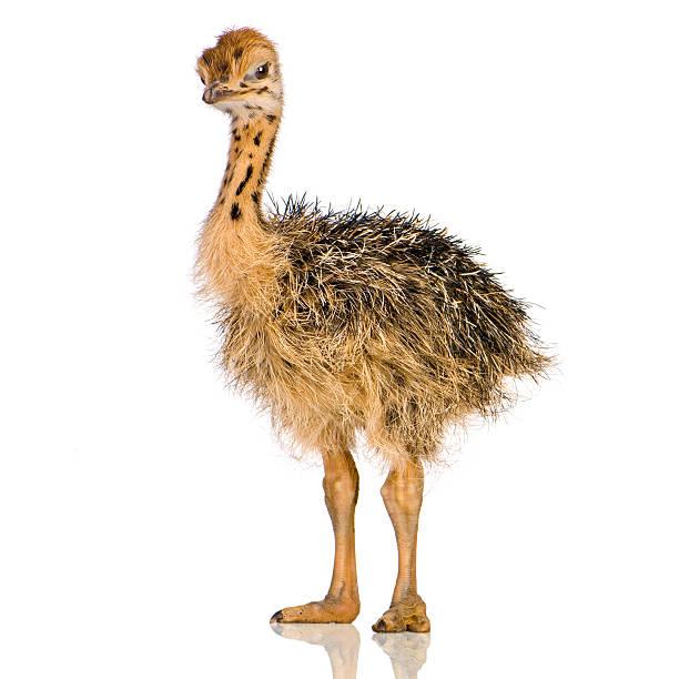 Autruche Chick - Photo