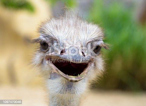 Ostrich Close up portrait, Close up ostrich head
