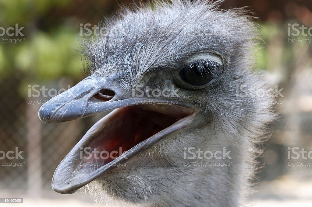 Ostrich, close-up royalty free stockfoto
