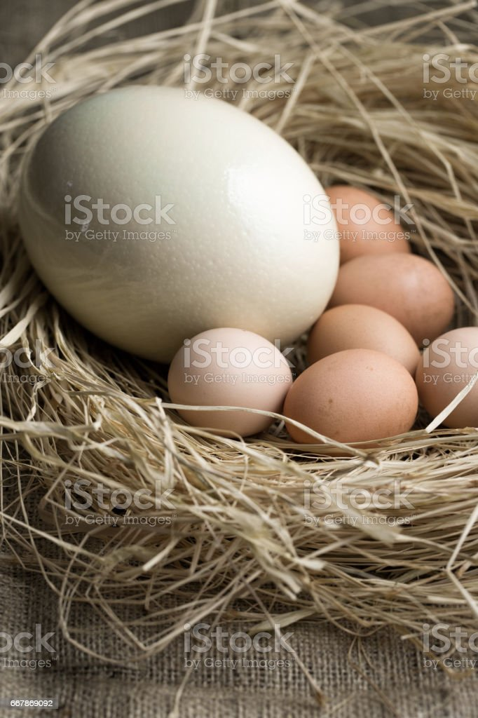 Ostrich egg and chicken eggs on straw. stock photo