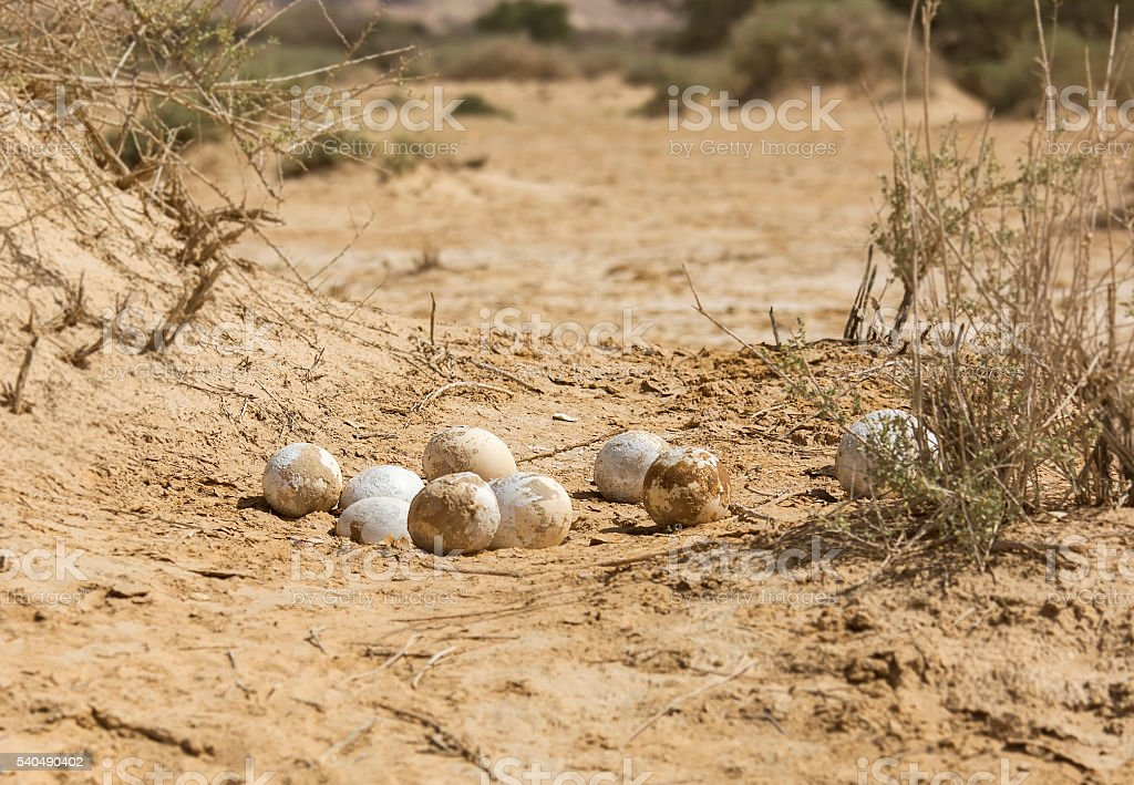 ostrich eggs in the desert stock photo