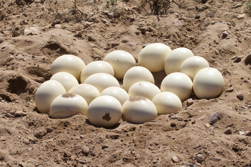 Ostrich eggs in a nest in South Africa
