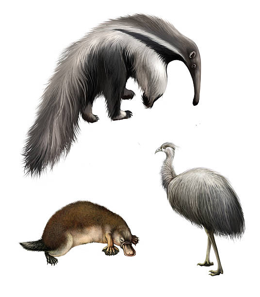 Ostrich Emu, echidna, Giant anteater Isolated illustration on white background Ostrich Emu, echidna, Giant anteater Isolated illustration on white background Giant Anteater stock pictures, royalty-free photos & images