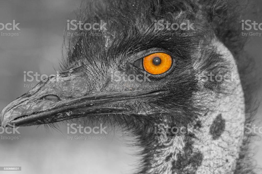Strauß eye – Foto