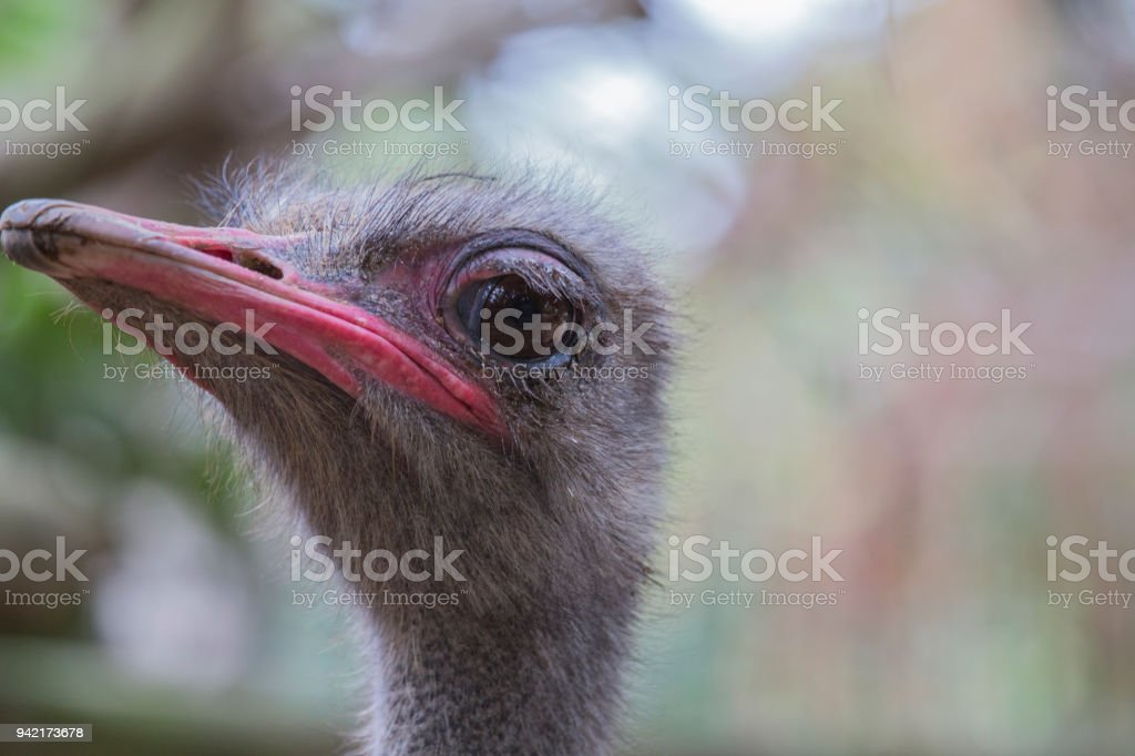 ostrich face closeup with background stock photo