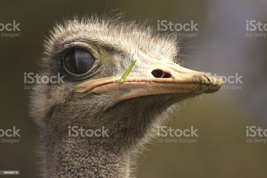 Ostrich face royalty-free stock photo