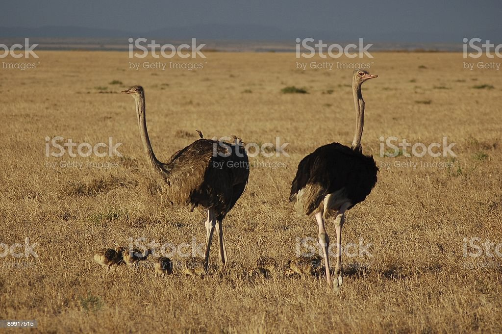Ostrich family royalty-free stock photo