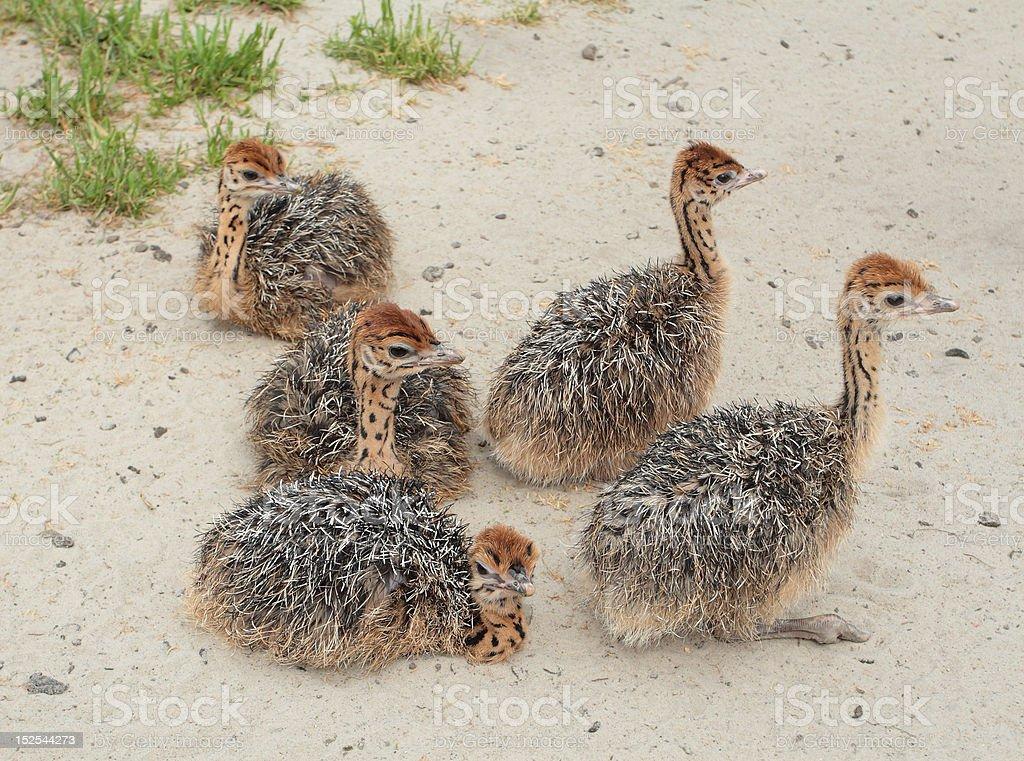 Ostrich farm royalty-free stock photo