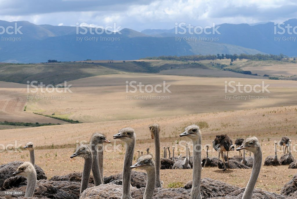 Ostrich Farmlands royalty-free stock photo