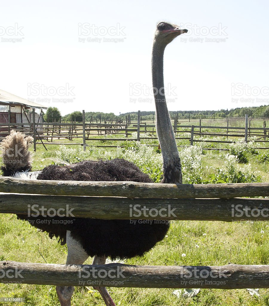Ostrich from the side royalty-free stock photo