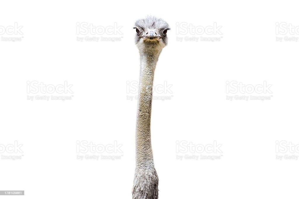 Ostrich Head and Neck stock photo