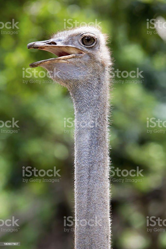 Ostrich head closeup royalty-free stock photo
