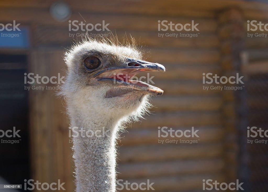 En primer plano de avestruz  foto de stock libre de derechos