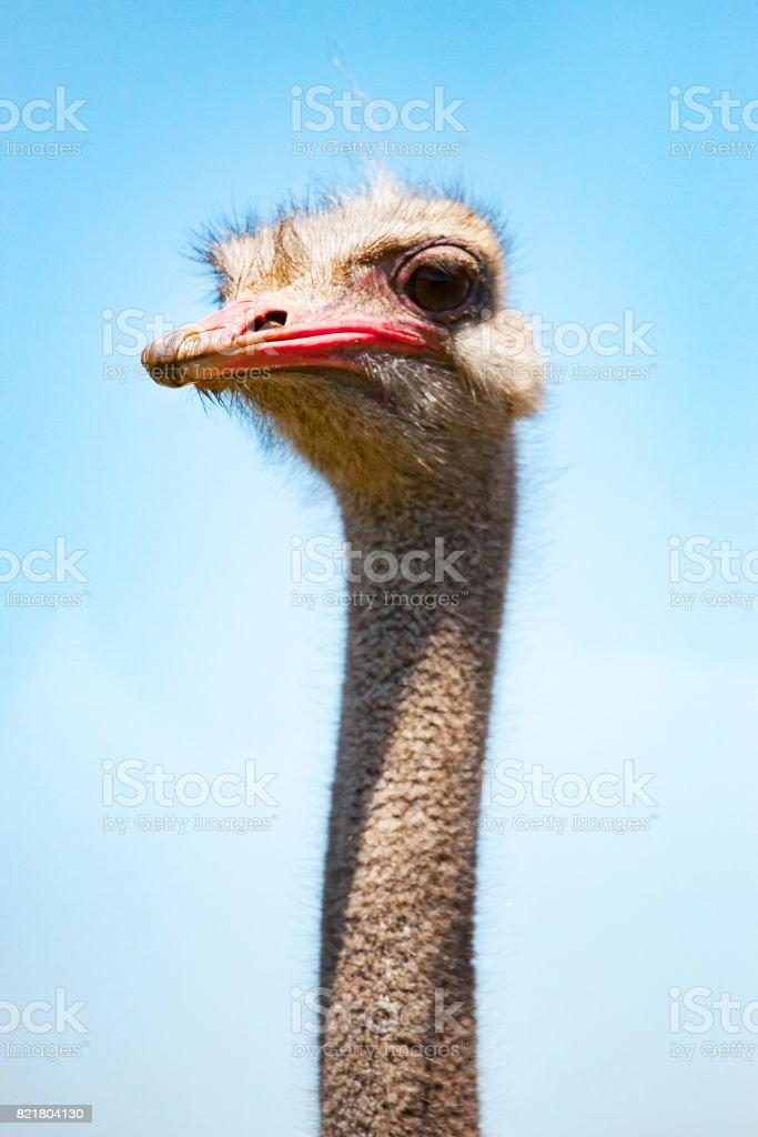ostrich head on blue sky background stock photo