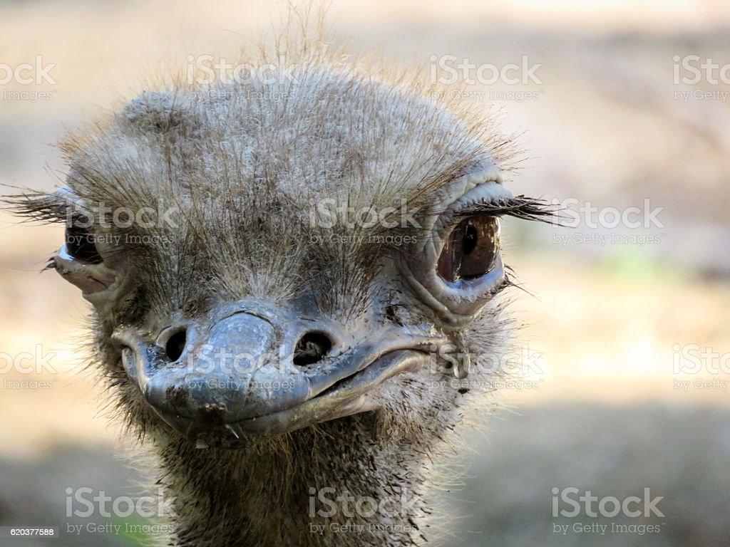 Strusie Head  zbiór zdjęć royalty-free