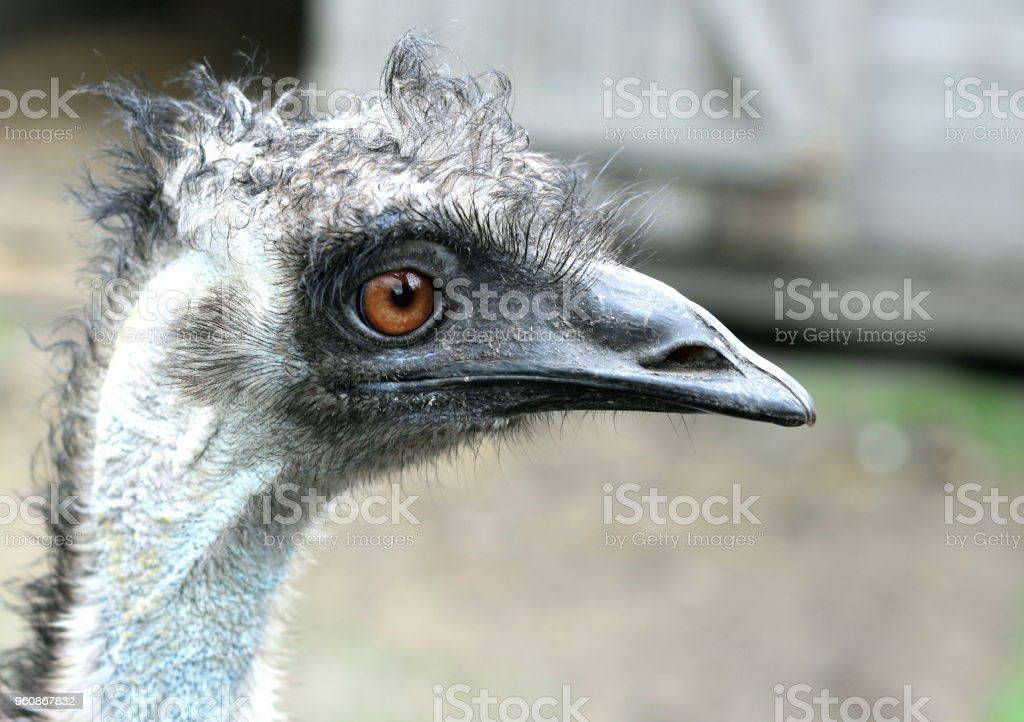 Ostrich head with large eyes stock photo