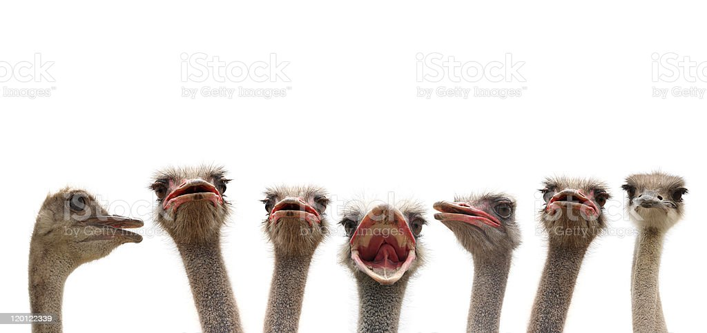 ostrich heads stock photo