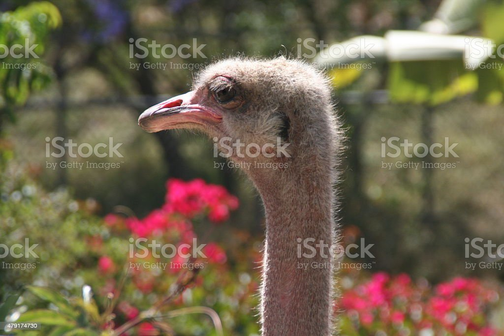 Ostrich Headshot stock photo