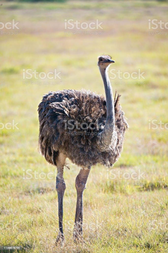 Ostrich in grass stock photo