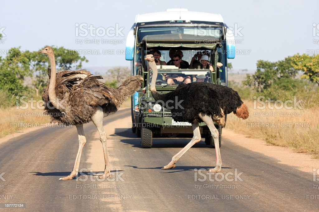 Ostrich in Kruger Park, South Africa stock photo