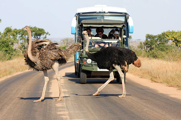 Ostrich in Kruger Park, South Africa  transvaal province stock pictures, royalty-free photos & images