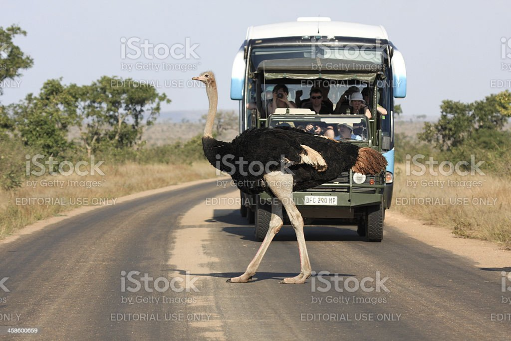 Ostrich in Kruger Park, South Africa royalty-free stock photo