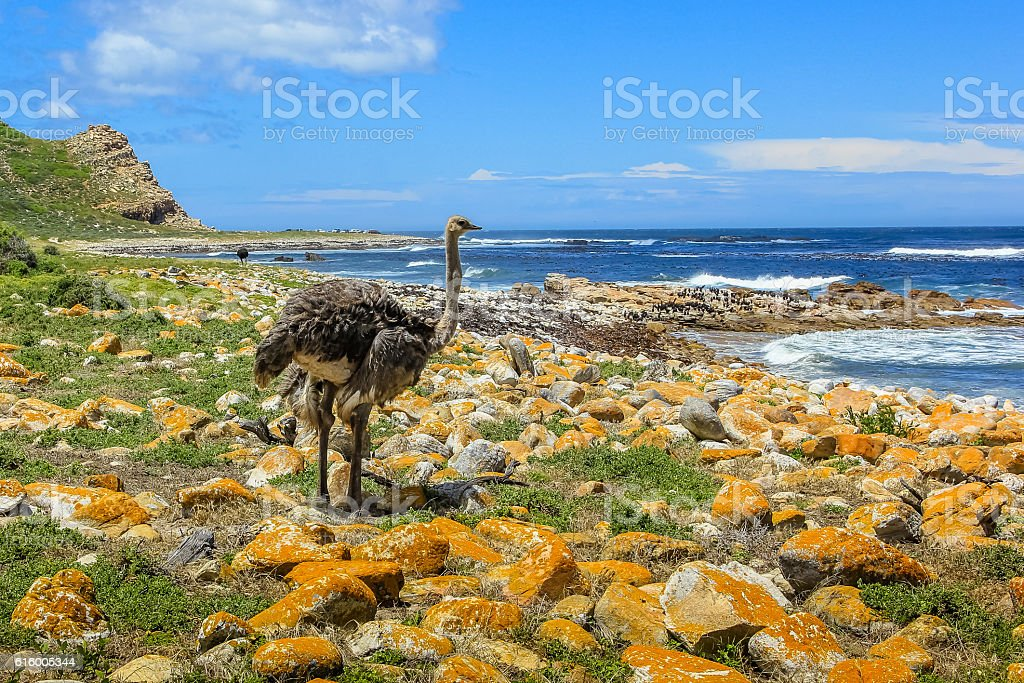 Ostrich in South Africa stock photo