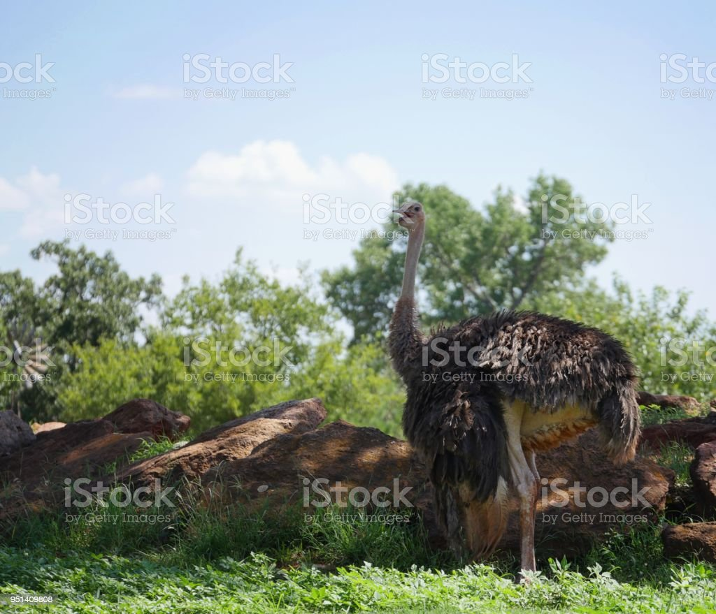 Ostrich in the grass stock photo