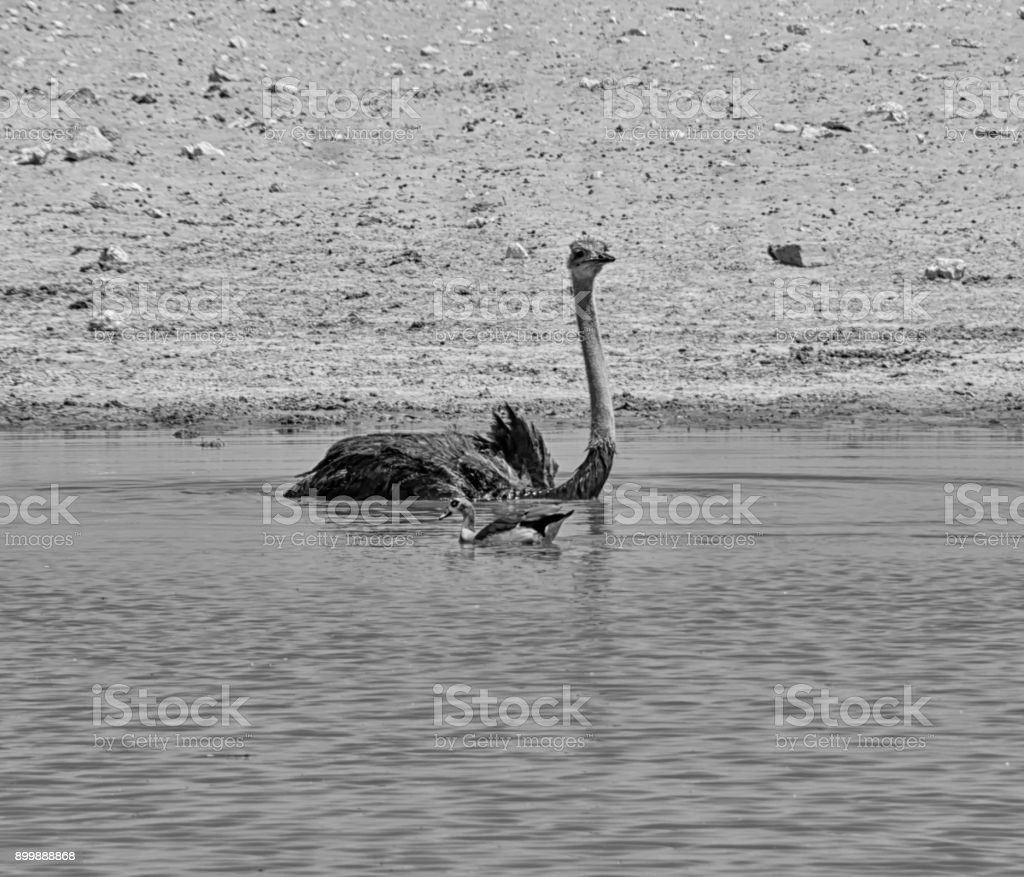 Ostrich In Water stock photo