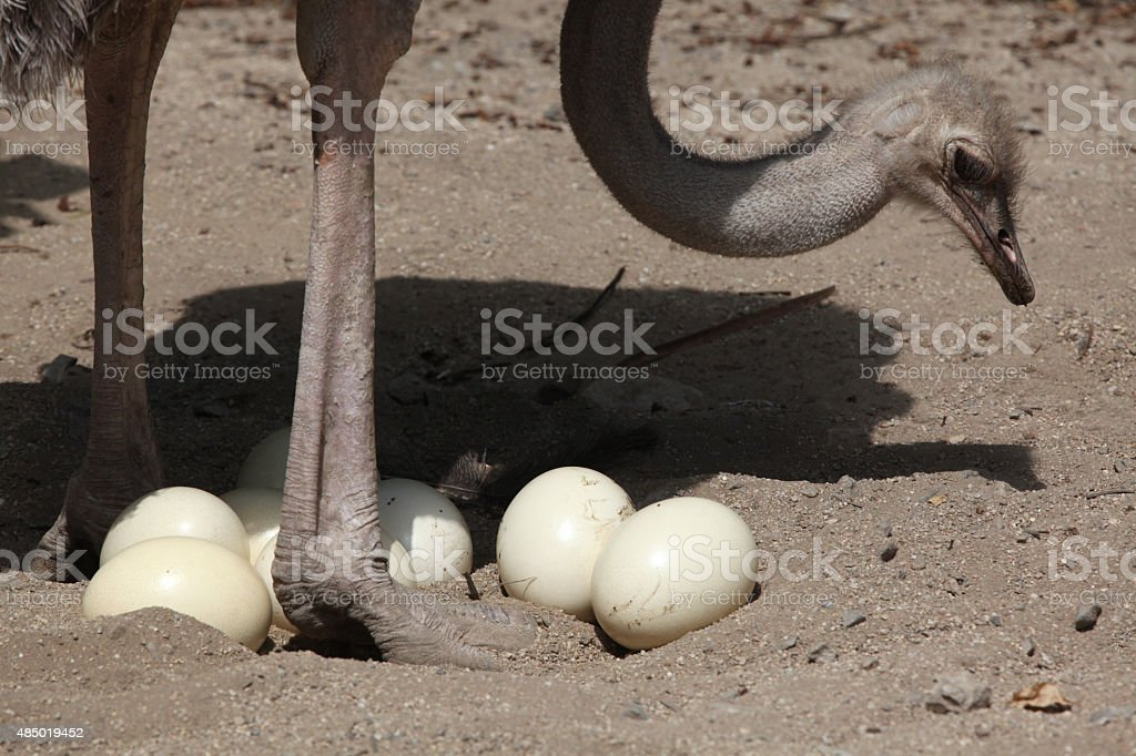 Ostrich (Struthio camelus) inspects its eggs in the nest. stock photo