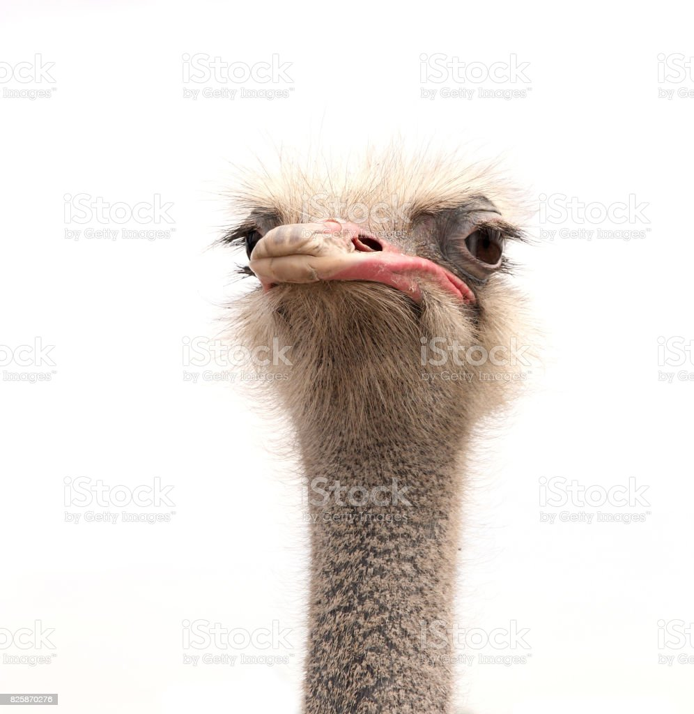 ostrich isolated on white stock photo