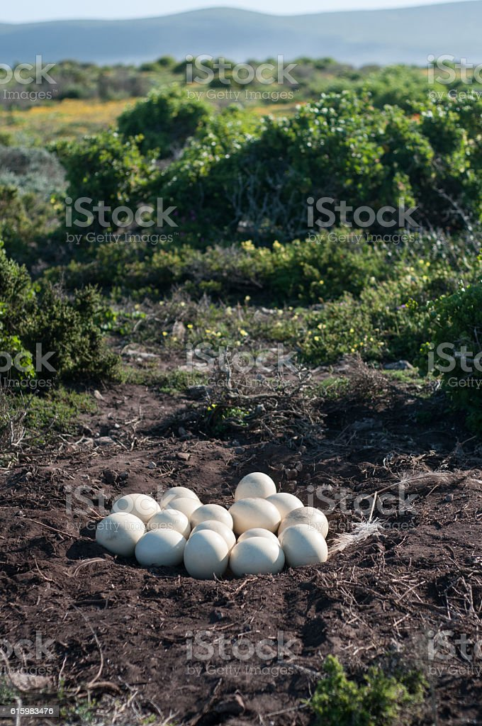 Ostrich nest stock photo