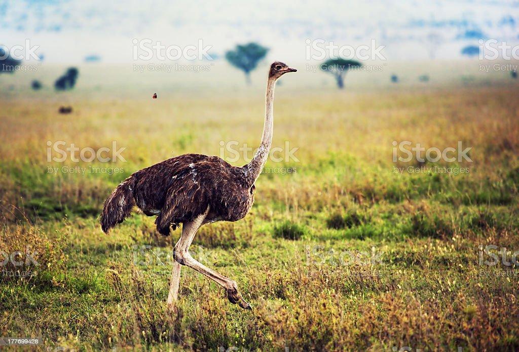 Ostrich on savanna, safari in Tanzania, Africa royalty-free stock photo