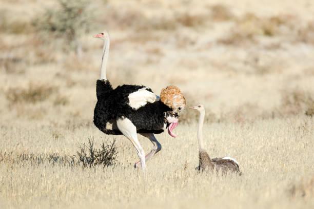 ostrich pair mating in the kalahari - tierpenis stock-fotos und bilder
